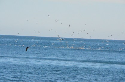 A raft of birds, something interesting in the water there.