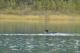 Drifting in the canoe with the camera poised, scanning for where the loon would surface next.