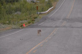 Coyote lingering on the road