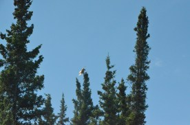 This hawk was drawing my attention away from the nearby nest.