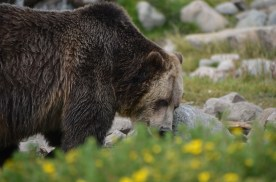 Grizzly_003