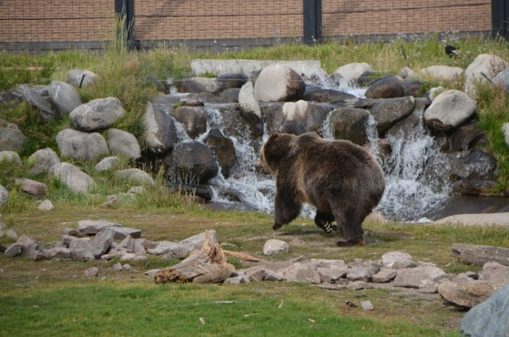 In this shot of the bear running you can clearly see those long claws.
