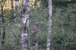 Turkey in the tree