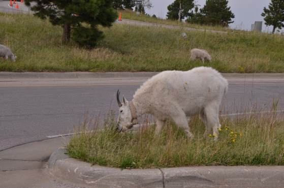 Mountain goats by the parking garage entrance