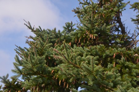 Cones on this fir.