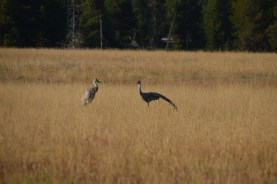 YellowstoneBirds_006