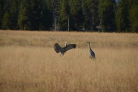 YellowstoneBirds_007