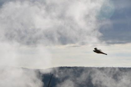 Hawk soaring through the geyser mists.