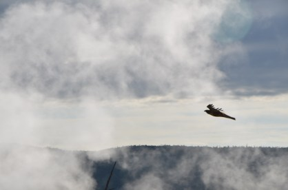 Hawk soaring through the geyser mists.