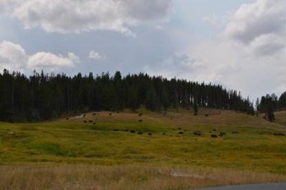 YellowstoneBison_010