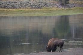 YellowstoneBison_019
