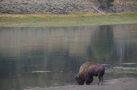 YellowstoneBison_019