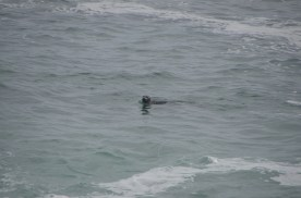 Saw several seals swimming just offshore