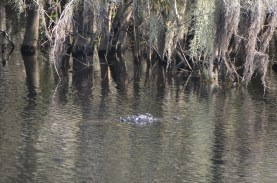 And the occasional gator