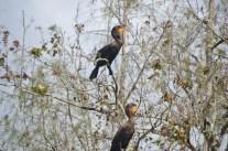 Cormorants sunning themselves in the trees.