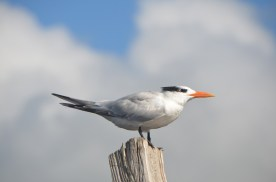 Royal Terns typically face into the wind, and in their stylish way are known as nature's weathervane.