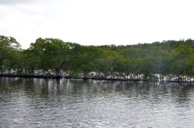 Mangroves have colonized the dredging from the navigation channel.