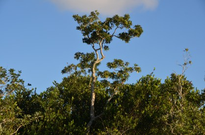 I believe this is a white mangrove.