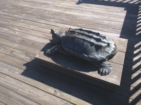 and a cast of this Alligator Snapping Turtle. Something for the kids to snuggle up to.