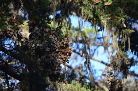 Monarchs_004