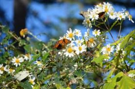 Monarchs_006