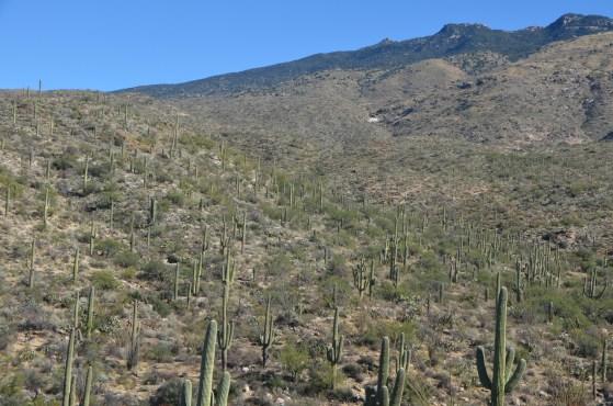 Hillside of Saquaro