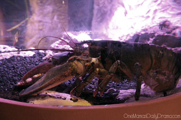 lobster at SEA LIFE Grapevine