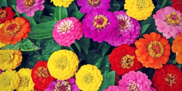 Cosmos and zinnias add color to kid-friendly landscaping
