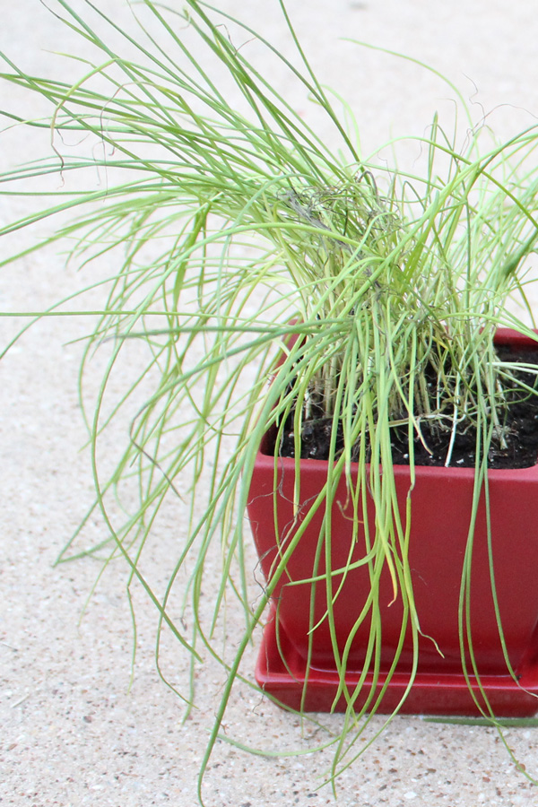 Herbs to grow: chives