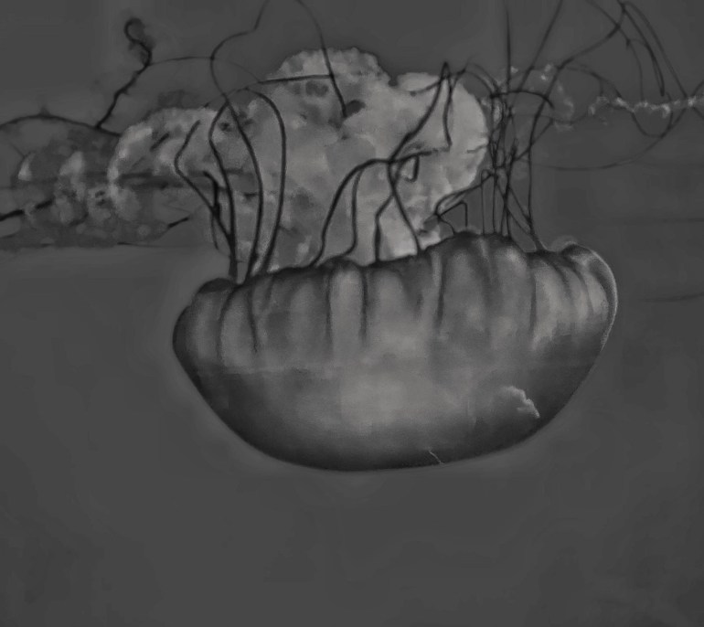 Black and White: Jellyfish at the Oregon Coast Aquarium in Newport, Oregon