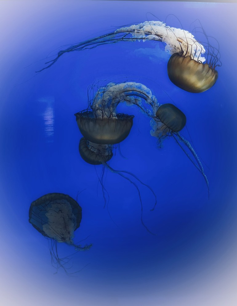 Jellyfish at the Oregon Coast Aquarium in Newport, Oregon
