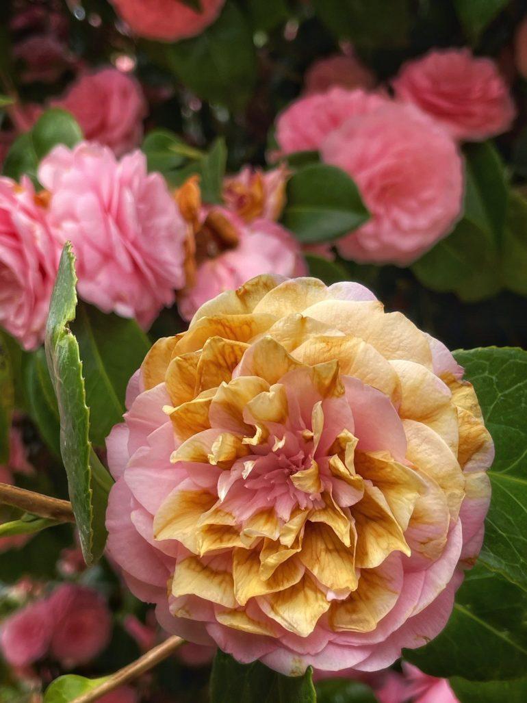 Helen Klager Lilac Garden in Woodland, Washington, Spring 2021