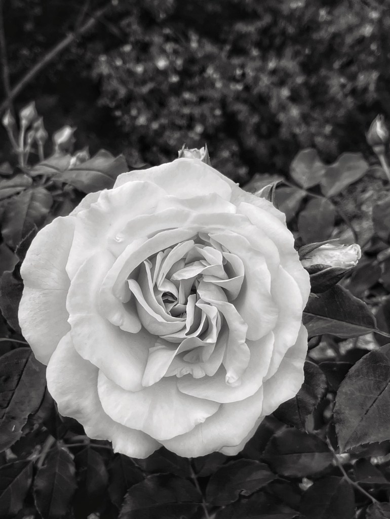 Cee's Black and White Photo Challenge: Flowers