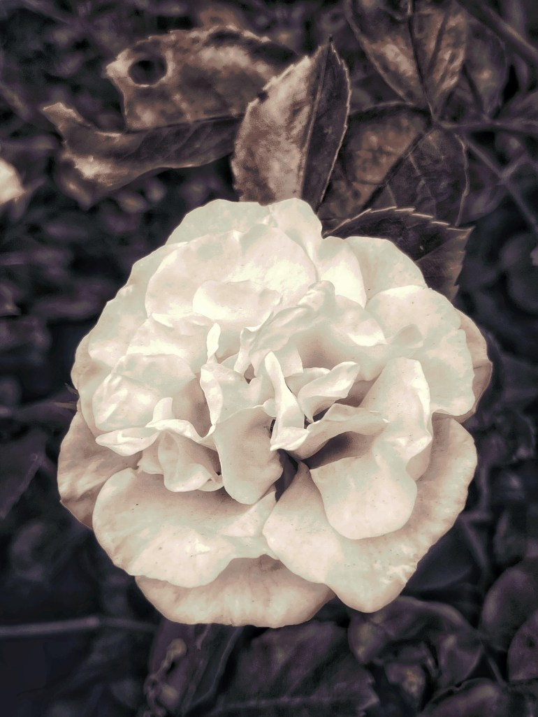 Black and White: Early Spring at the International Rose Test Garden in Portland, Oregon