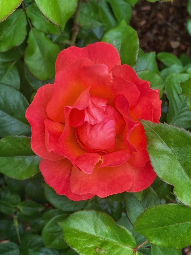 Early June Roses at Peninsula Park in Portland, Oregon