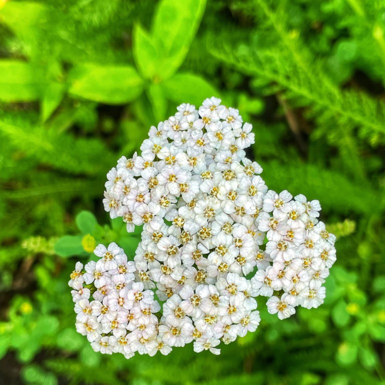 Flower of the Day for July 4, 2021