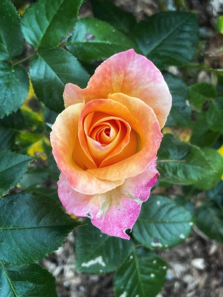 Woodland Park Rose Garden in Seattle, Washington