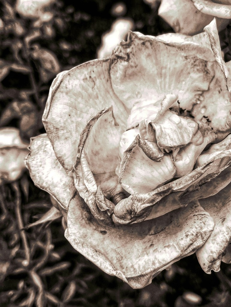 Black and White: Roses in Bloom at Peninsula Park in Portland, Oregon