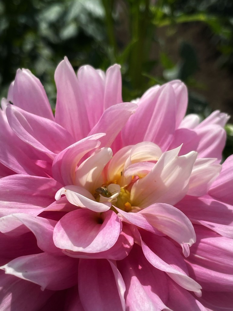 Floral Friday at Swan Island Dahlias in Canby, Oregon