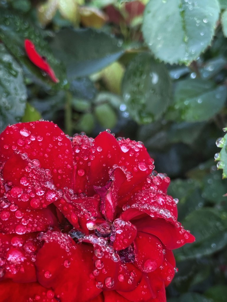 Roses, Raindrops, and Red