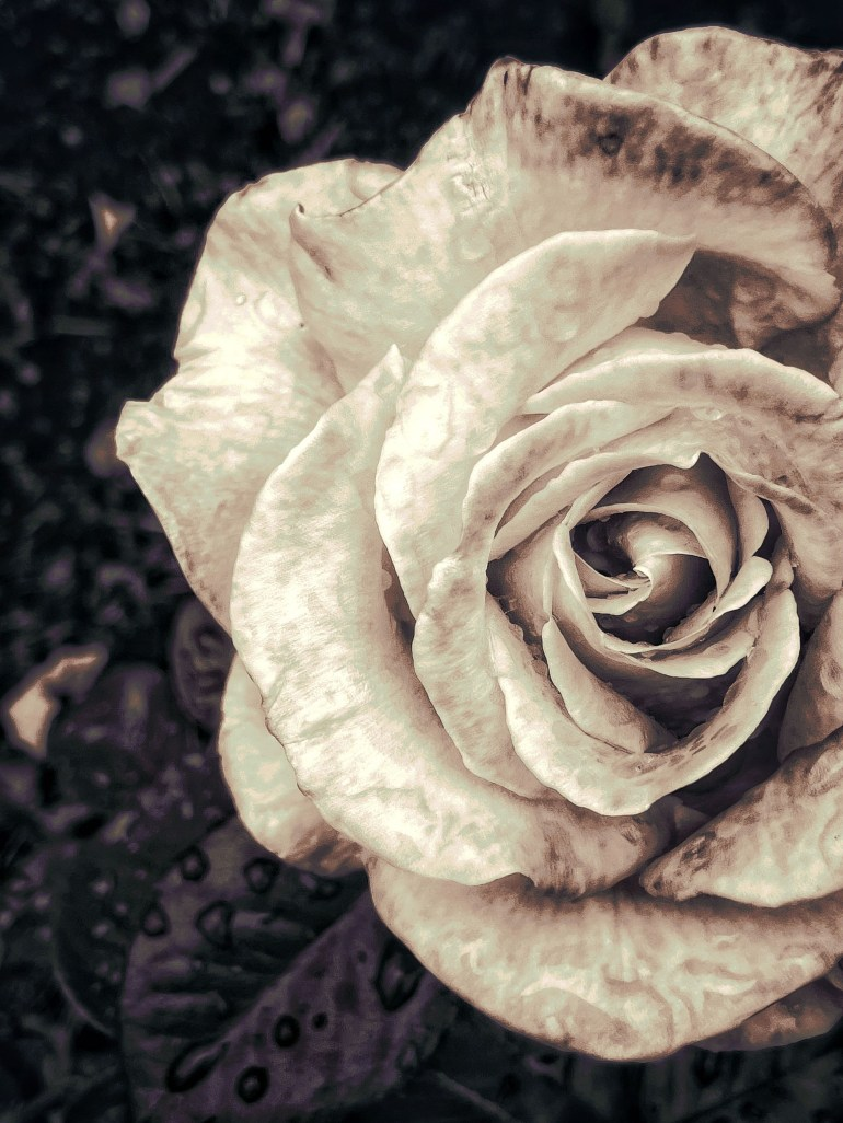 The Last of the Summer Roses at Peninsula Park in Portland, Oregon