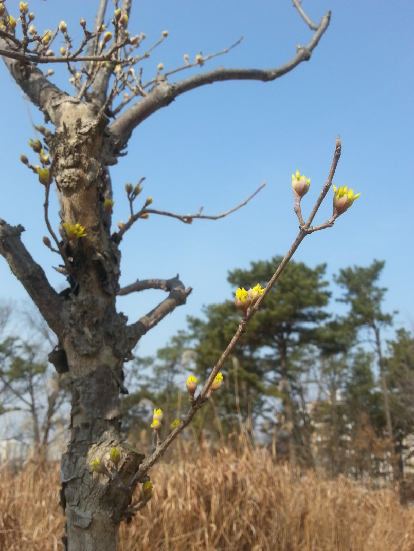 Can't wait to see these baby Cornus officinalis buds (sansuyu in Korean) in bloom!
