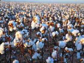 cotton-field0520ww-compressor