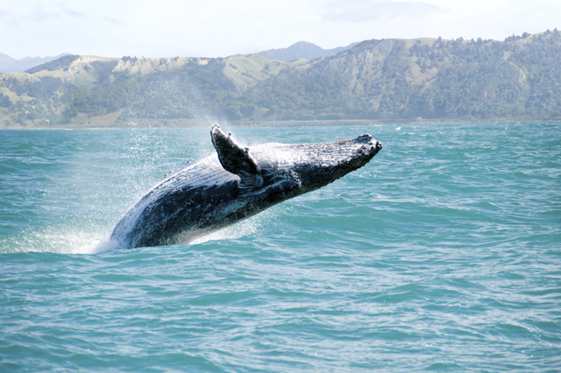 humpback-whale-in-hawaii