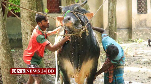 এবার কোরবানির হাট কাঁপাবে 'নেইমার'