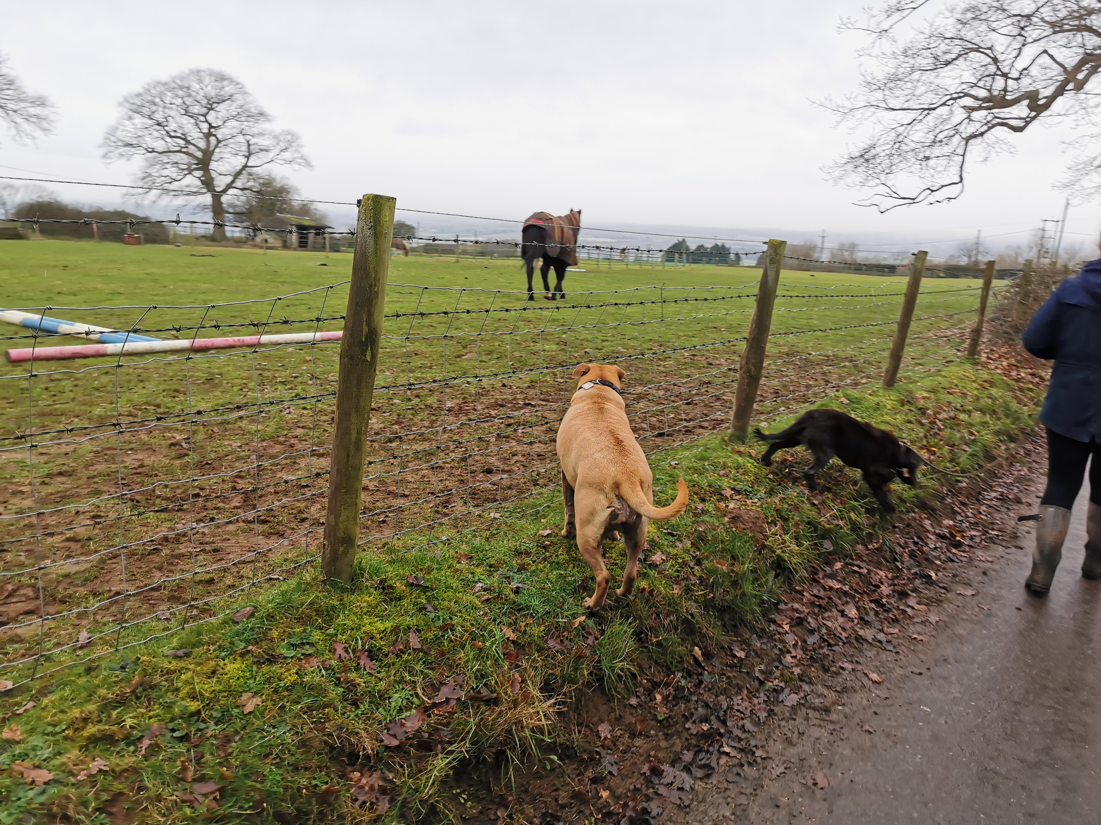 Dogs watching the horses in Lacock