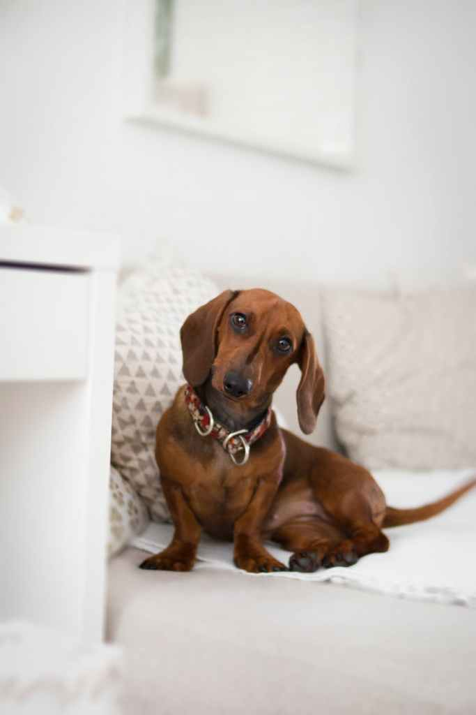 brown dachshund on bed