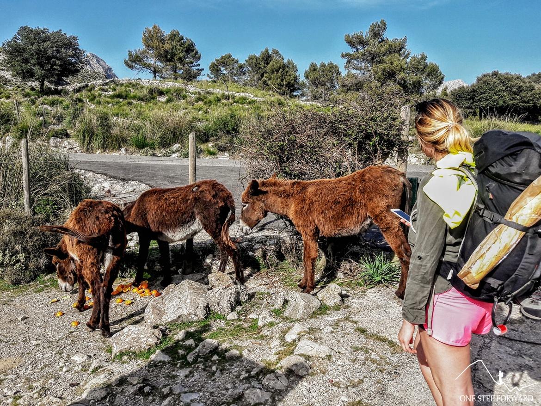 Trekking na Majorce - osiołki w okolicach jeziora Cuber