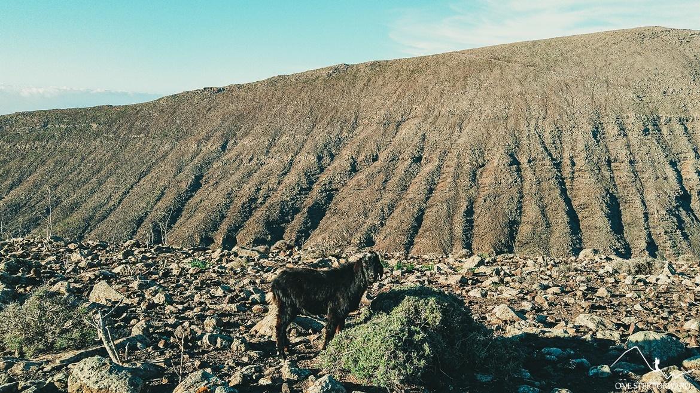 Kozice górskie na Fuerteventurze
