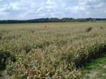Red flags mark kids progress is corn maze near Wooster, Ohio